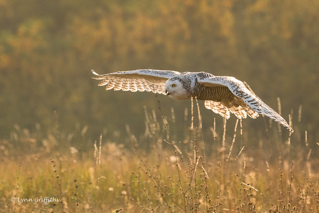 Snowy Owl - Autumn sunrise 501_3651.jpg