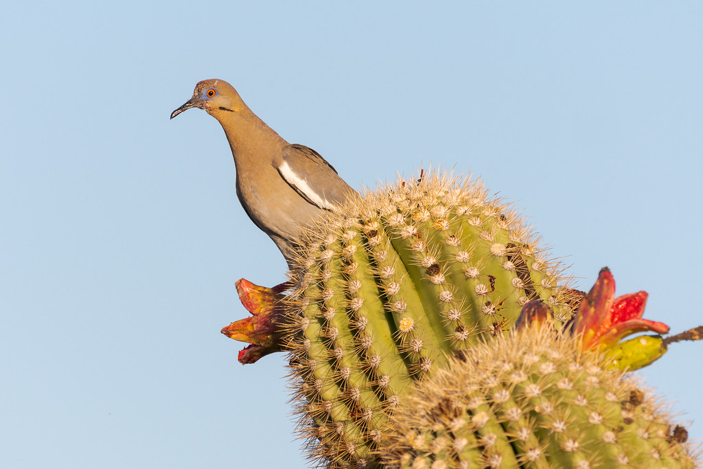 A white-winged dove perches on angled arms of a saguaro as it prepares to get at the last bit of fruit on ripened and opened saguaro fruits on the Latigo Trail in the Brown's Ranch area of McDowell Sonoran Preserve in Scottsdale, Arizona in July 2018