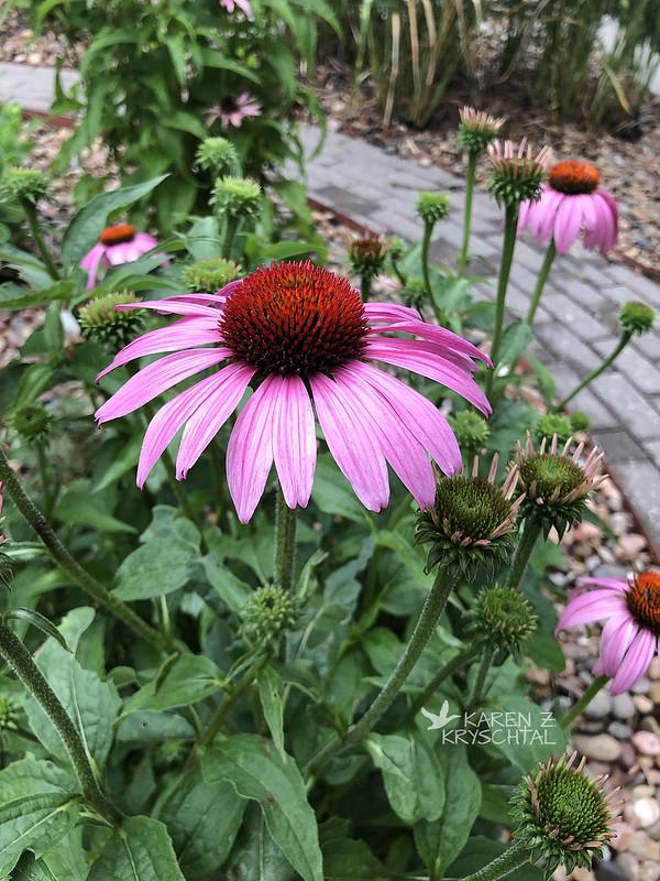 IMG_9259BethConeflowers