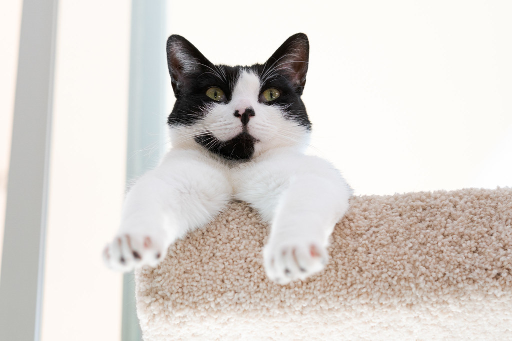 Looking up at our cat Boo as he rests at the top of the cat tree with his legs sticking out in front in May 2019