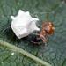 Paidiscura pallens - Photo (c) AJC1, alguns direitos reservados (CC BY-SA)