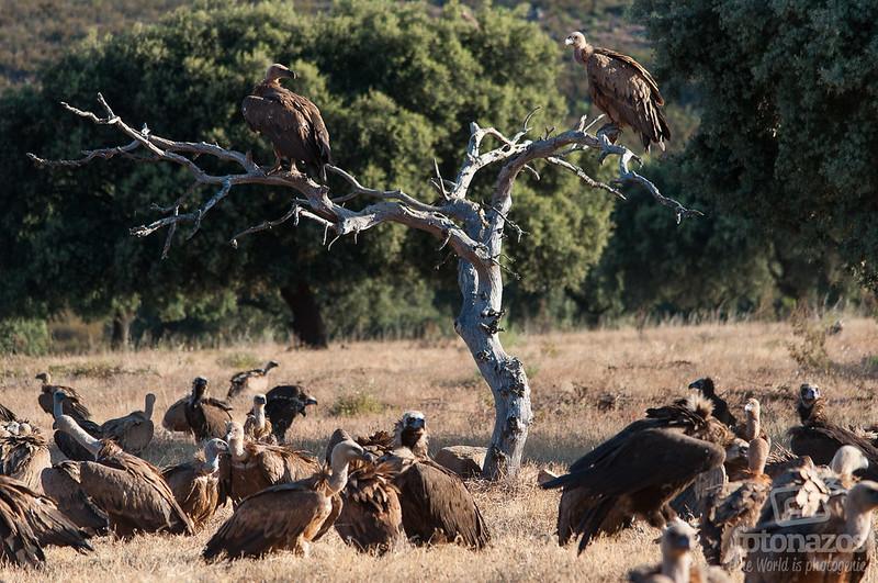 Observación de Buitres en Extremadura