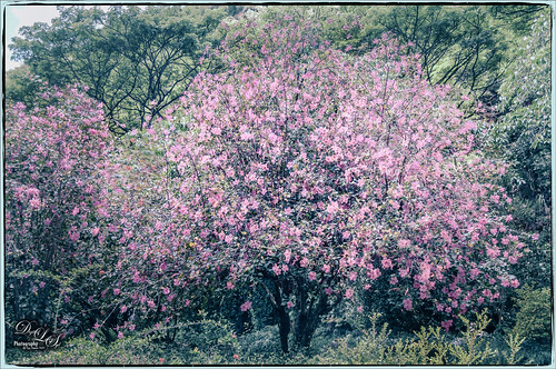 Image of a Pink Hibiscus Tree in Maui, Hawaii