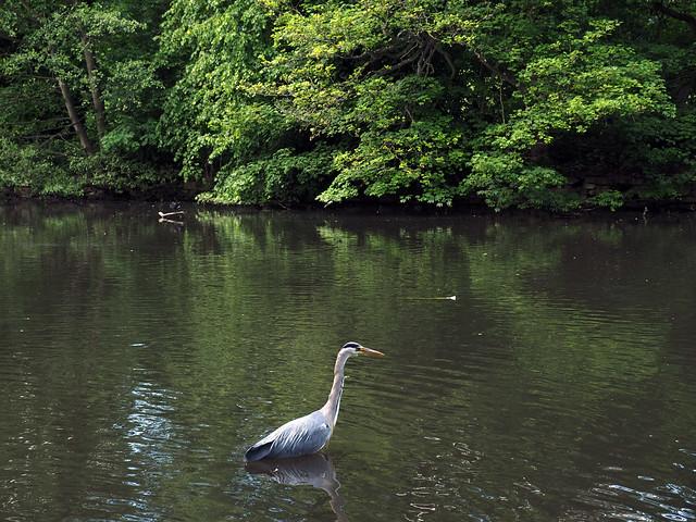 heron fishing at endcliffe park