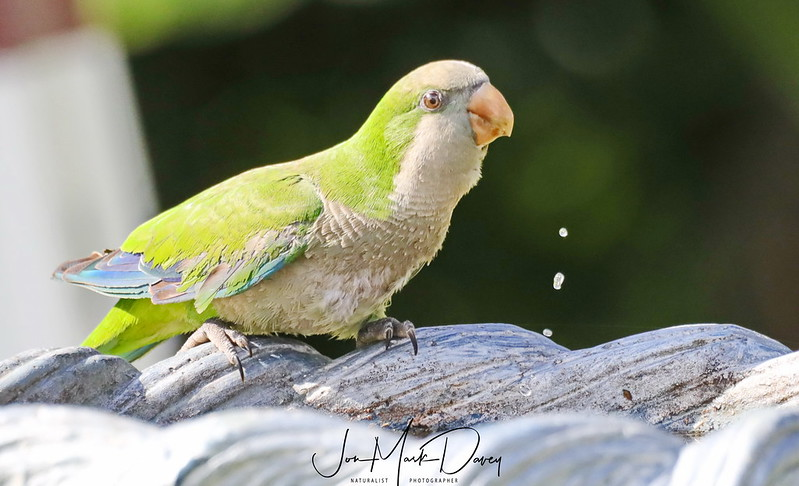 Wild Quaker Parrot