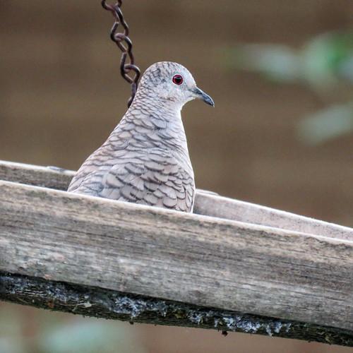 bird incadove