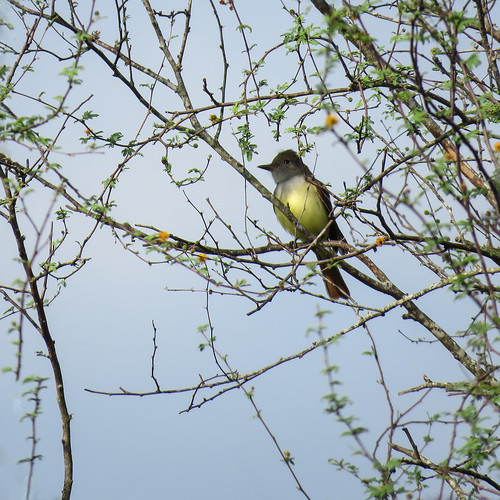 usa unitedstates texas resacadelapalmasp nearbrownsville day9 nature wildlife avian bird greatcrestedflycatcher myiarchuscrinitus adult frontsideview perched tree branch outdoor 27march2019 canon sx60 canonsx60 annkelliott anneelliott ©anneelliott2019 ©allrightsreserved