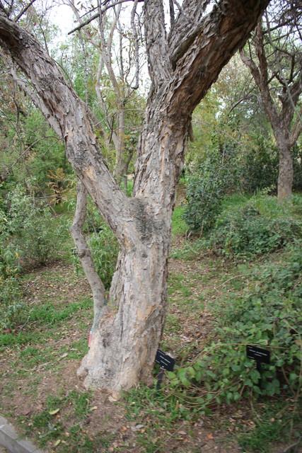 Vachellia sieberiana (DC.) Kyal. & Boatwr. (Syn. Acacia sieberiana DC.) - BG Barcelona