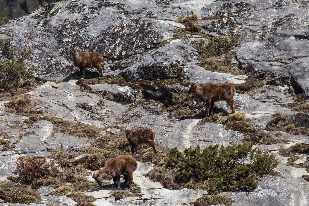 Himalaya_fauna 02 Tahrs 03 med