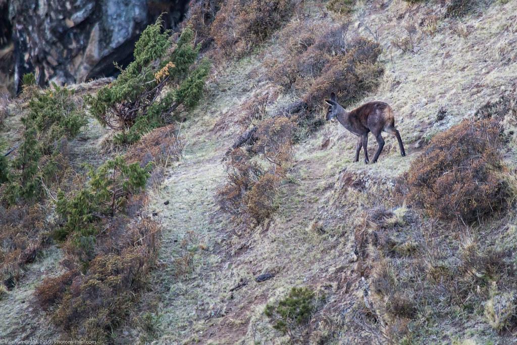 Himalaya_fauna 07 Musk deer 06 med