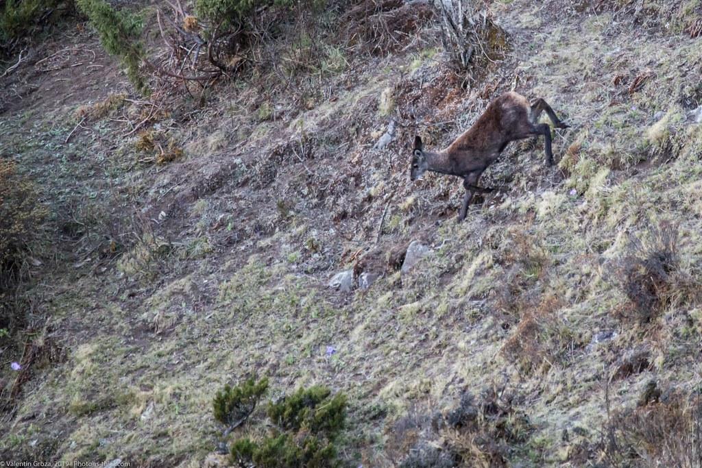 Himalaya_fauna 07 Musk deer 04 med