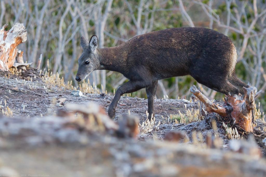 Himalaya_fauna 07 Musk deer 02 med