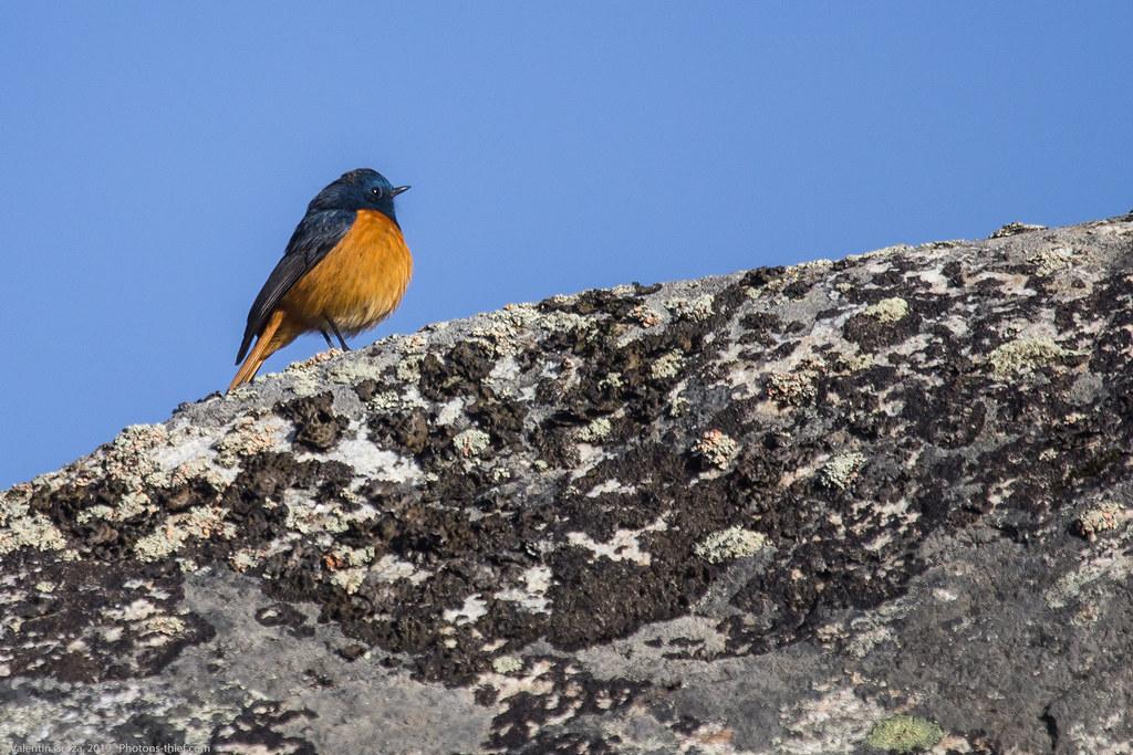 Himalaya_fauna 04_blue-fronted redstart 04 med
