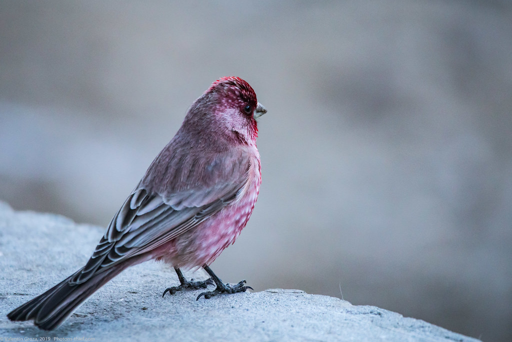 Himalaya_fauna 06 rosefinch 03 med