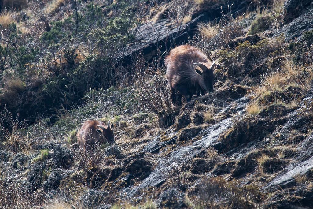 Himalaya_fauna 02 Tahrs 06 med