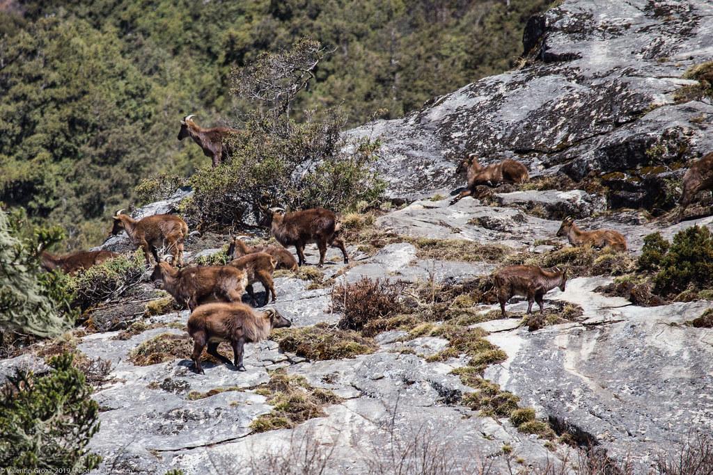 Himalaya_fauna 02 Tahrs 01 med