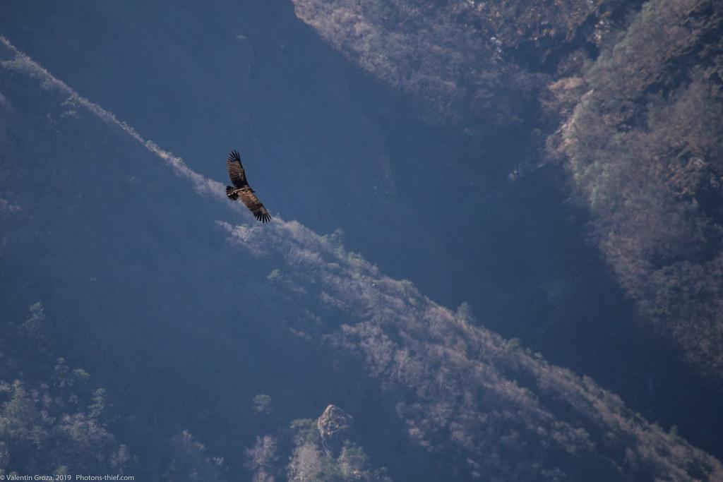 Himalaya_fauna 01 griffon 07 med