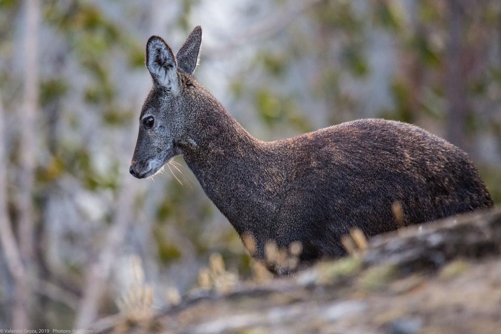 Himalaya_fauna 07 Musk deer 01 med