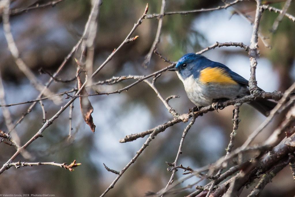 Himalaya_fauna 05_blue-tail 02 med