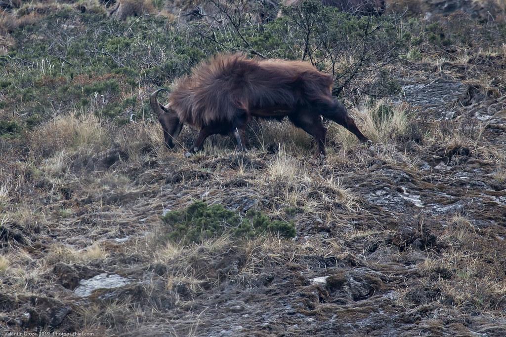 Himalaya_fauna 02 Tahrs 08 med