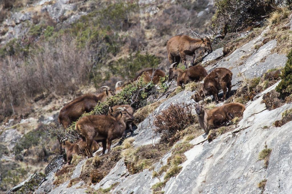 Himalaya_fauna 02 Tahrs 05 med
