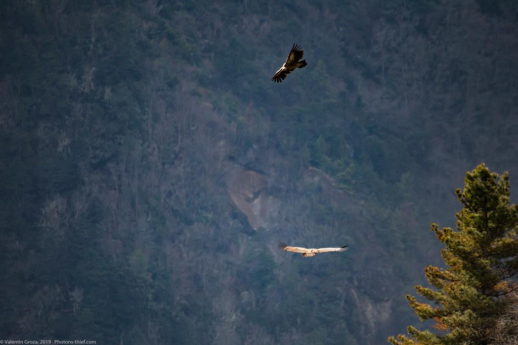 Himalaya_fauna 01 griffon 03 med