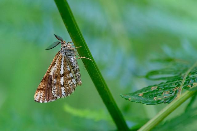 Bordered White Moth (Underwing)
