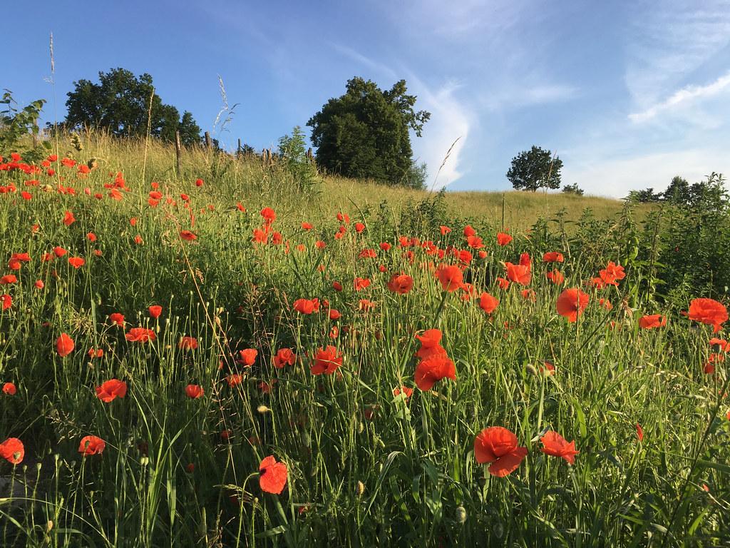 Czerwone maki / Red poppies