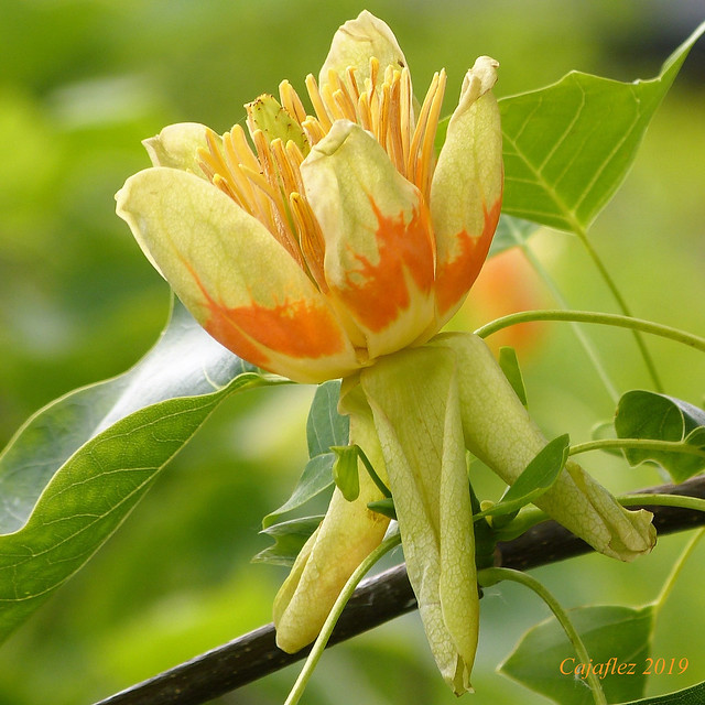 Liriodendron tulipifera - tulpenboom - American tulip tree (2)
