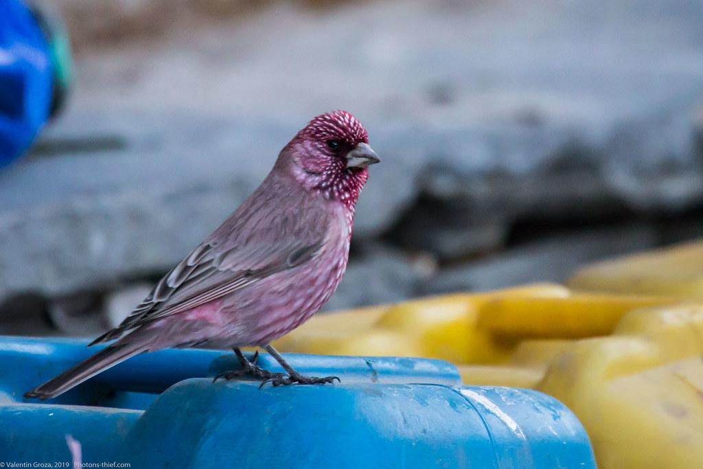 Himalaya_fauna 06 rosefinch 01 med