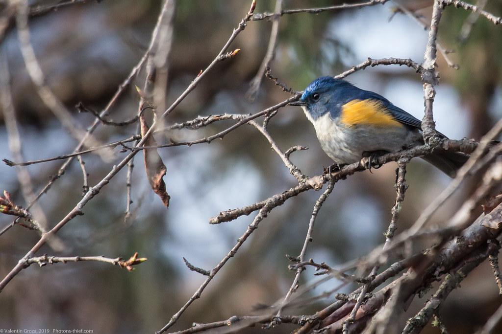 Himalaya_fauna 05_blue-tail 01 med