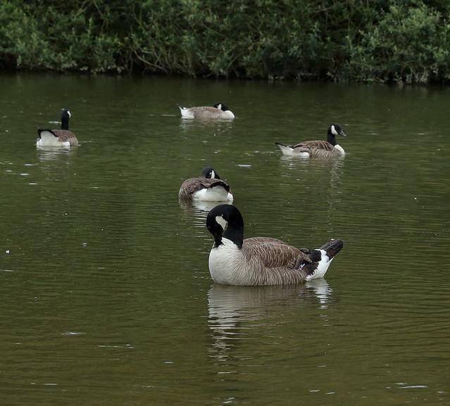Canada Geese on Peatmoor Lagoon