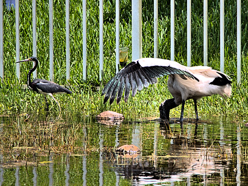 Wood Stork and Tricolored Heron 02-20190620