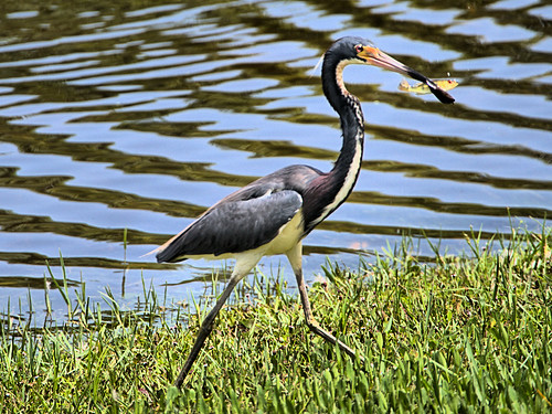 Tricolored Heron with fish 02-20190620