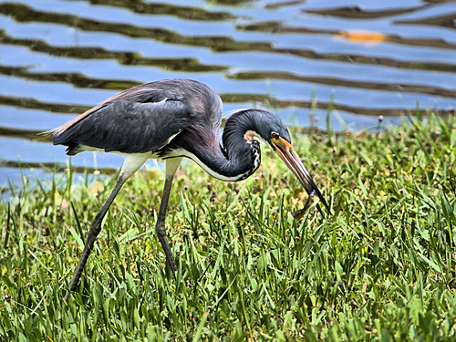 Tricolored Heron with fish 01-20190620