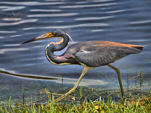 Tricolored Heron fishing 07-20190620