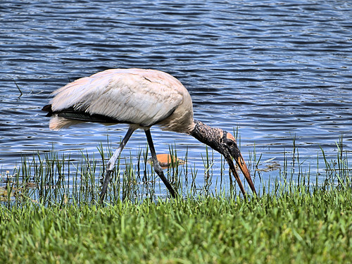 Wood Stork immature 02-20190620