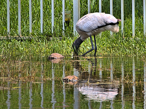 Wood Stork immature 03-20190620