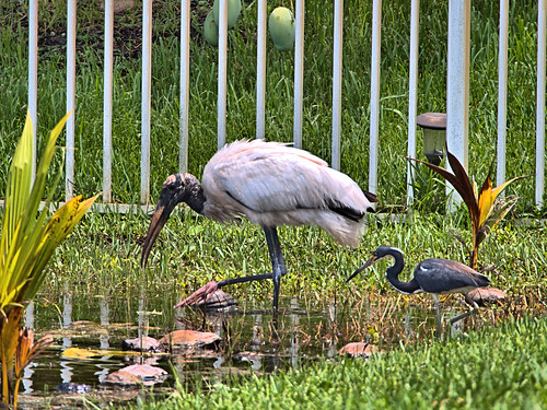Wood Stork and Tricolored Heron 01-20190620
