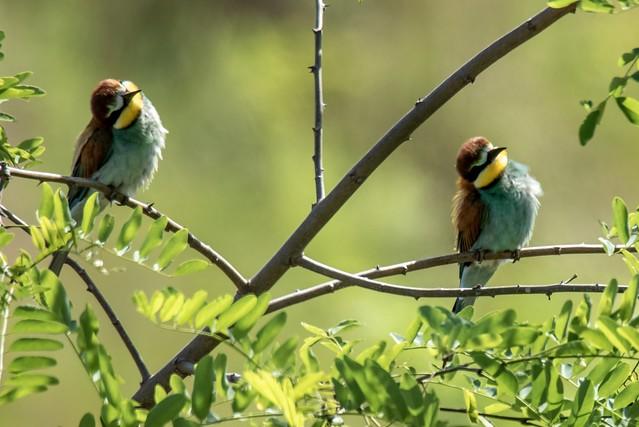 Bienenfresser / Bee-eater