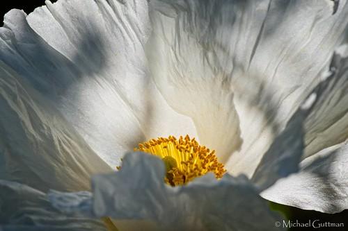 matilijapoppy queenofcaliforniaflowers mendocino california flower solitarybloom closeup macro poppy nativeplant plant californianativeplant