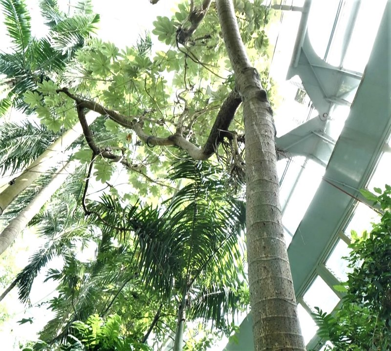 原本生長在中南美洲熱帶雨林的號角樹,現在在台中科博館熱帶雨林溫室以及台北動物園熱帶雨林館,都可以見到。