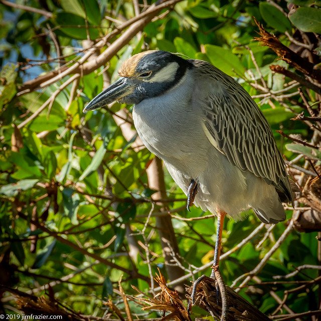 Yellow-crowned Night Heron II