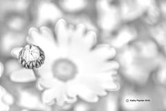 Daisy 9787