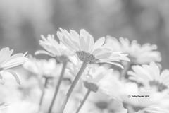 Daisy 9782