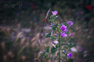 Flor en la campiña