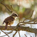 Carolina Wren (explored)