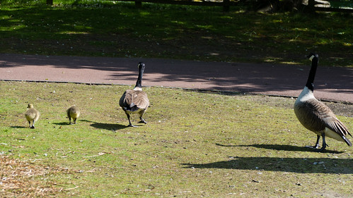 Another Canada goose family, West Park