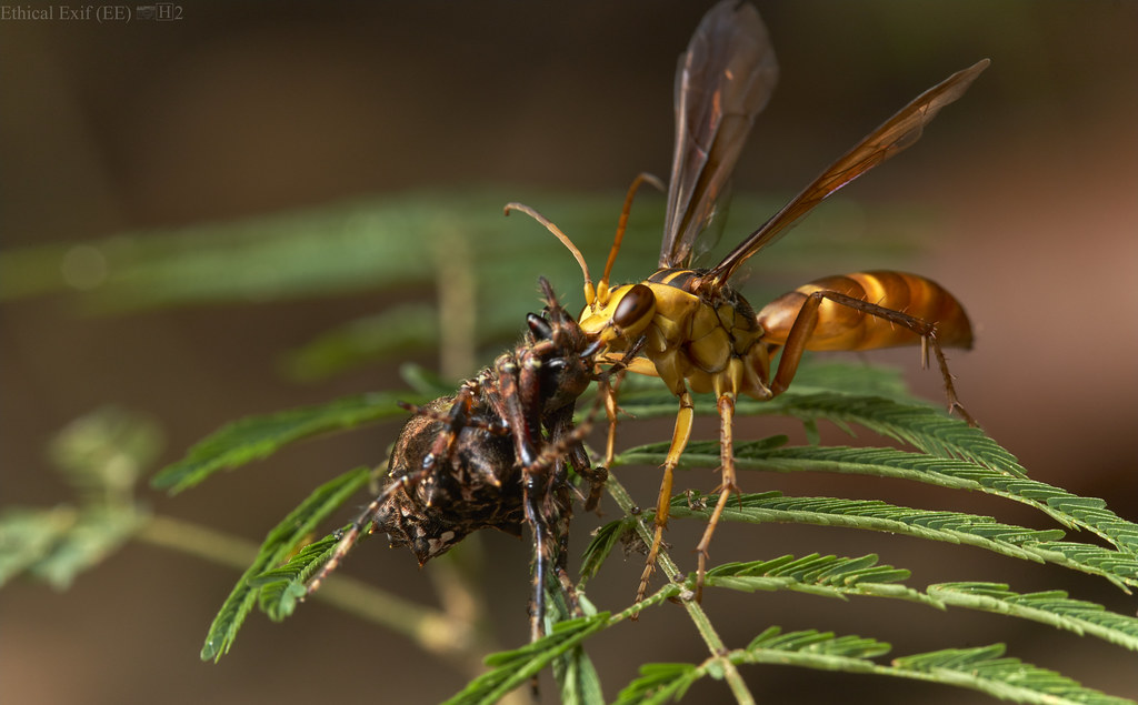 Pompilid wasp with paralyzed orbweaver