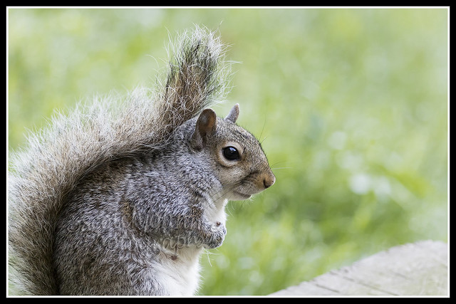 IMG_0002 Grey Squirrel